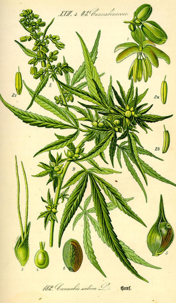 Cannabis sativa: Beruhigend, schmerzlindernd, berauschend
