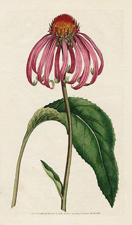 Echinacea: Immunmodulation, entzündungshemmend