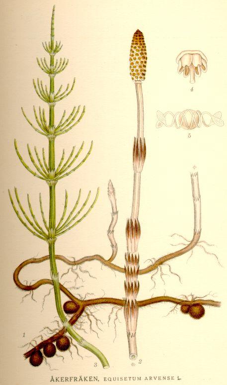 Ackerschachtelhalm: Der Siliciumgehalt macht Ackerschachtelhalm zu einer Nieren- und Bindegewebe regenerierenden Pflanze. Blutstillend