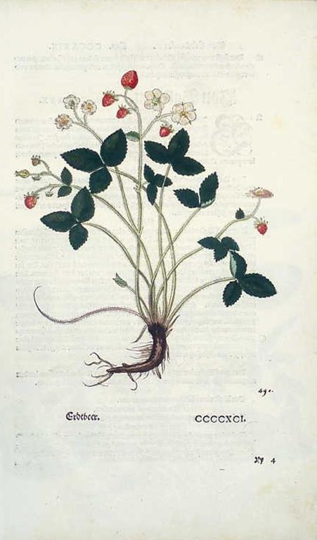 Erdbeere: Adstringierend, diuretisch